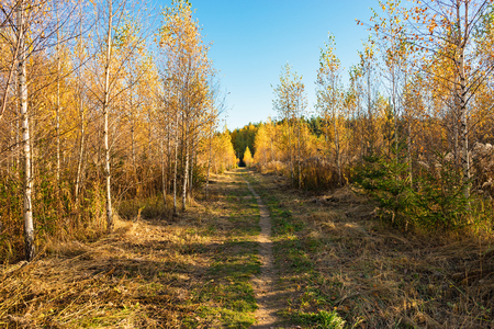 The path between the young forest undergrowth of trees on a Sunny autumn day Stock Photo