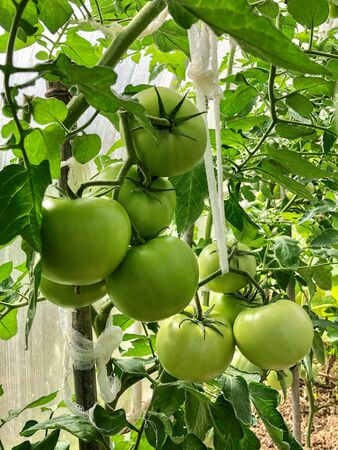 Green raw tomatoes bunch growing on a branch in a greenhouse Banco de Imagens