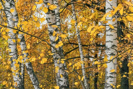 Birch trunks and yellow autumn foliage in fall season background