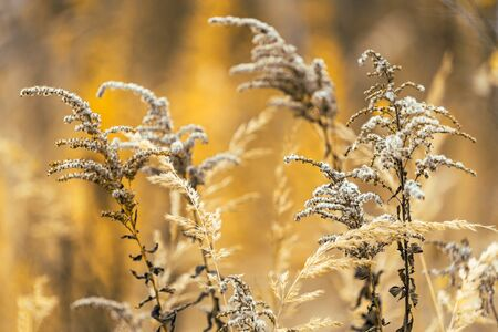 Goldenrod ordinary. Dry plant in autumn on a blurred orange background