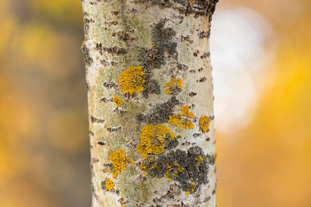 Xanthoria wall-leafy lichen orange or yellow family Teloschistaceae. Grows on the trunk of an aspen tree. Orange blurred background in autumn.