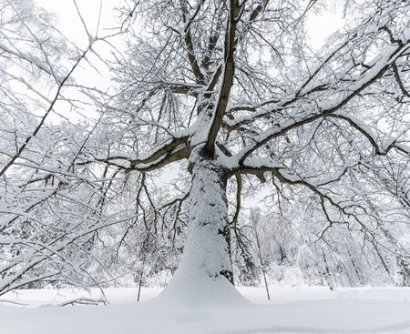 Big majestic oak tree covered with snow in winter. Bottom up view of the trunk with spreading branches and crown Banco de Imagens