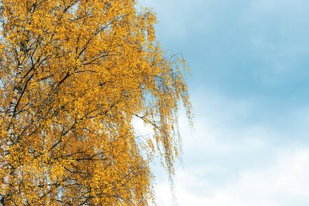 Birch tree with yellow leaves in the autumn season against the moody sky on background. Space for text