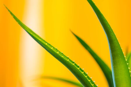 Green aloe vera leaves on yellow blurred background with space for text. Macro close-up view indoor