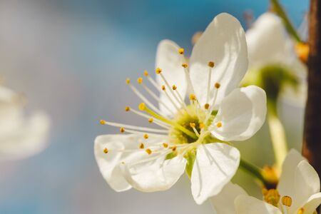 Flower of blossoming cherry tree in spring on blue sky on blur background with space for text. Macro 版權商用圖片