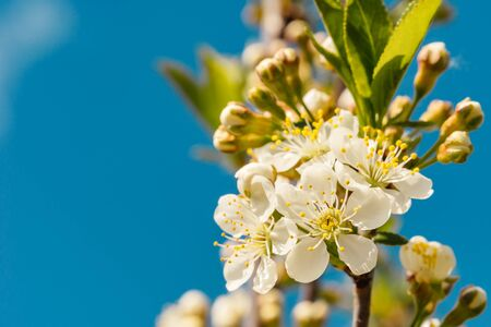 Branch with flowers of blooming cherry tree on blue sky. Spring background with space for text