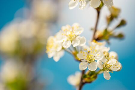 Branch with flowers of blooming cherry tree on blue sky. Spring background