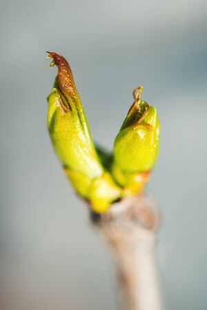 Bud vine with a young green leaf in the spring. Macro on blurred background 版權商用圖片