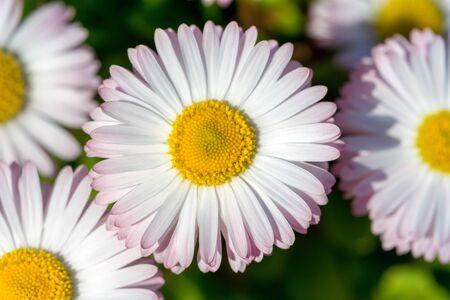Closeup of a beautiful pink and white Marguerite, Daisy flower. Leucanthemum vulgare, the ox-eye daisy, oxeye daisy. Summer background 版權商用圖片