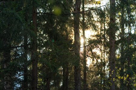 Trunks of evergreen fir trees in woods and orange sunset. Forest background in the evening 版權商用圖片