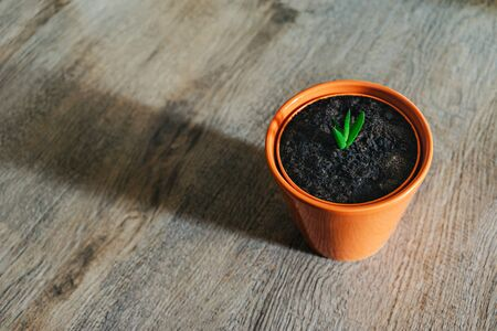 A small young green plant growing in a flower pot on a wooden background - aloe vera