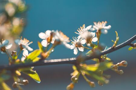 Flowers on branch of blossoming cherry tree in spring in sunlight on blur blue background with space for text