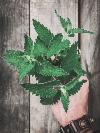 A bunch of fresh green peppermint in a man's hand on a gray wooden background 版權商用圖片