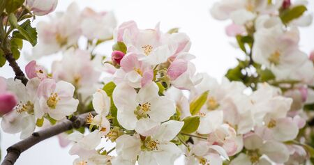 A branch of a blooming apple tree in spring with beautiful flowers. Low depth of field, close-up. Blurred light background Stok Fotoğraf