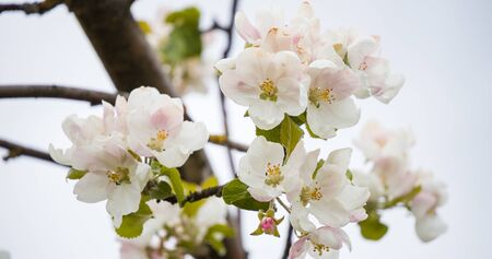 Blooming apple tree in spring with beautiful flowers. Low depth of field, close-up. Blurred light background