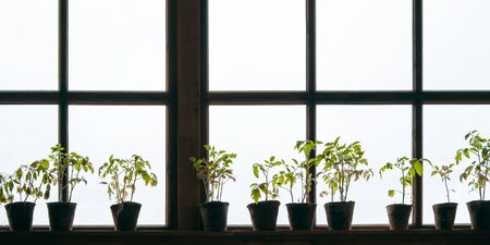 Potted plants on the windowsill on a light background of the window. Tomato seedlings - a panorama in a rustic style on the background of a wooden window frames