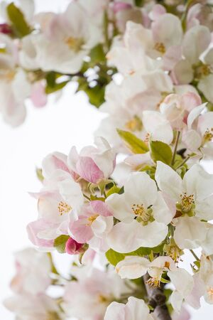 A branch of a blooming apple tree in spring with beautiful flowers. Low depth of field, close-up on bright white background 版權商用圖片