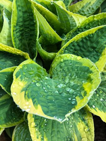 Green wet Hosta leaves with rain drops natural background close-up view 版權商用圖片