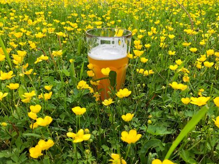 A glass of craft beer in nature on flowering meadow at summer day