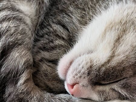 Sleeping cat nose and mouth close up 版權商用圖片