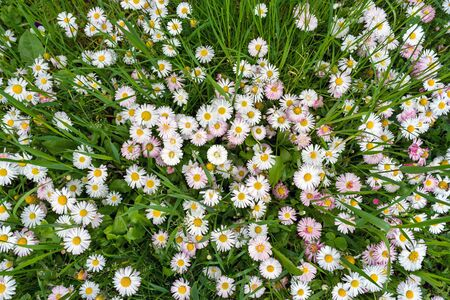 Chamomile field flowers in garden or daisies flowers blooming in grass background. Summer flowers on meadow, top view directly above
