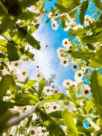 Field of beautiful summer daisies flowers, blue sky and sunlight. View from below to up