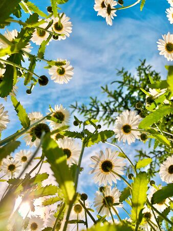 Summer flowers background. Looking up through white daisies into the blue sky in sunlight 版權商用圖片