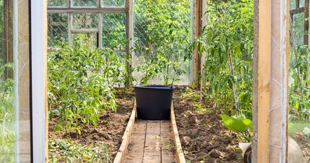 Bucket inside a greenhouse with growing tomato bushes in countryside