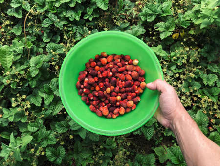 Harvest of ripe red garden strawberries. Picking strawberries in the summer. Top view of a bowl in hand. Flat lay