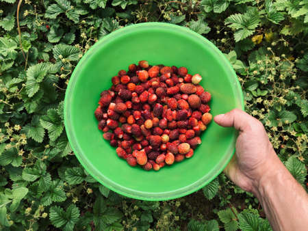 Harvest of ripe red garden strawberries. Picking strawberries in the summer. Top view of a bowl in a hand 版權商用圖片