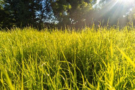 Green grass in sunlight - summer nature background 版權商用圖片
