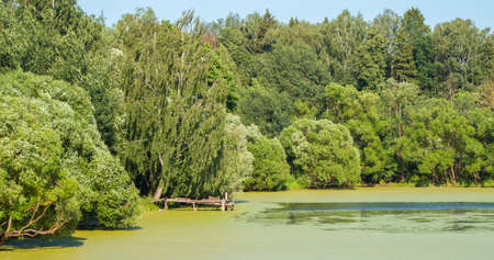 Panoramic landscape of russian nature in summer. View on pond overgrown with duckweed with small wooden bridg and green trees on coast 版權商用圖片
