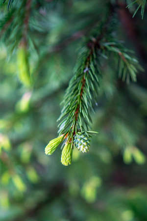 Young fir tree sprouts on branch on blurred background