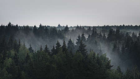 Landscape panorama of dark misty fir forest in the fog in the rainy weather