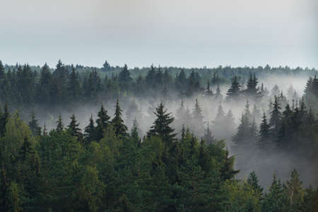 Panorama of spruce forest horizon in the fog