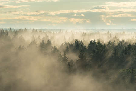 Landscape view of misty spruce forest in the fog 版權商用圖片