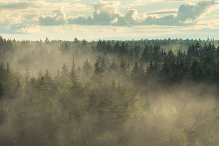 View from above on spruce misty forest in the fog