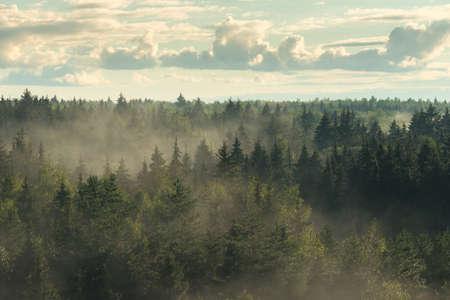 Hazy misty fir forest in the fog