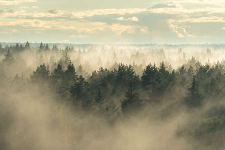 View of the mystical coniferous spruce forest in the fog 版權商用圖片