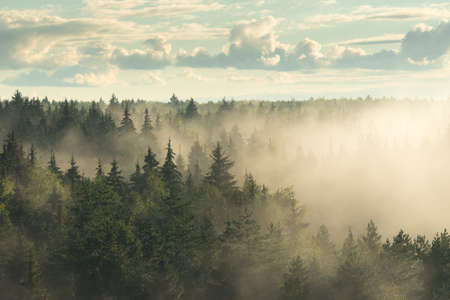 Spruce fir forest in the fog