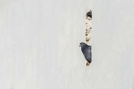 City pigeon. Space for copy on white background