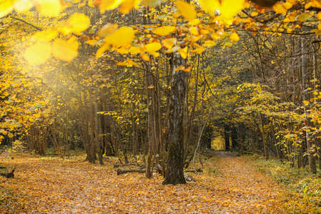Sunny autumn day in forest. Landscape with yellow leaves on trees in woods