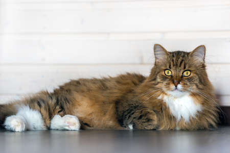 A full-length long-haired cat lies on the floor and looks at the camera on a light background 版權商用圖片