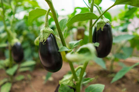 Nutrition eggplants grow in a greenhouse in the garden