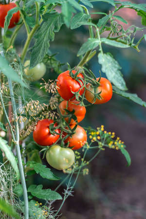 Red ripe tomatoes on branch grow in greenhouse in garden