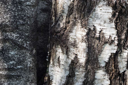 Texture bark of birch tree. Natural background