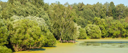 Panorama of russian nature in summer. View on pond overgrown with duckweed and green trees on coast