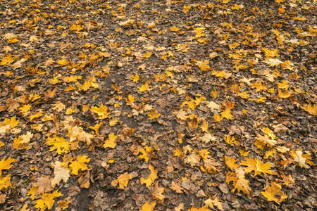 Fallen autumnal leaves on ground natural background