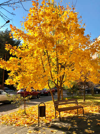 Yellow leaves on maple tree in sunny autumnal day in the city