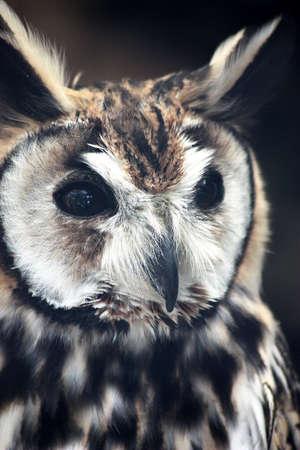 eared: Long Eared Owl